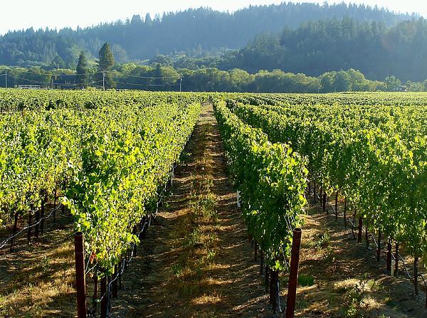 Vineyard At Harvest Print by Kathleen Fitzpatrick