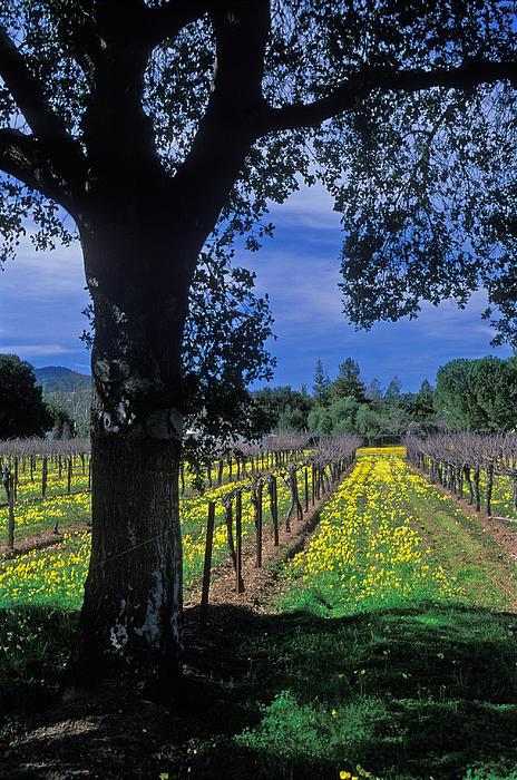 Vineyard View Print by Kathy Yates