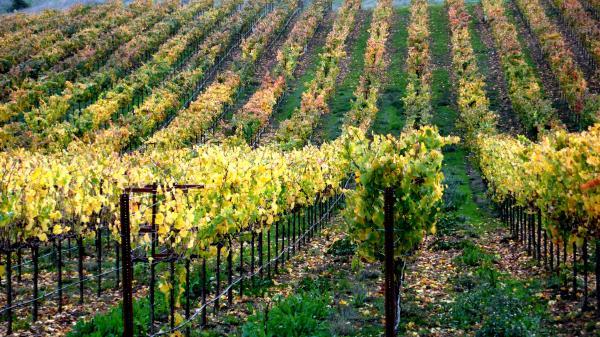 Vineyards In Healdsburg Print by Charlene Mitchell