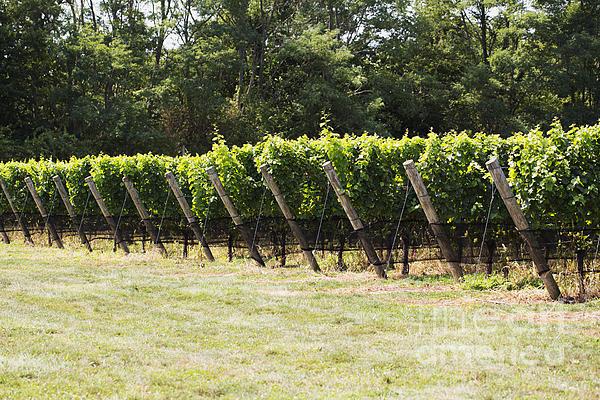 Vineyards Print by Leslie Leda