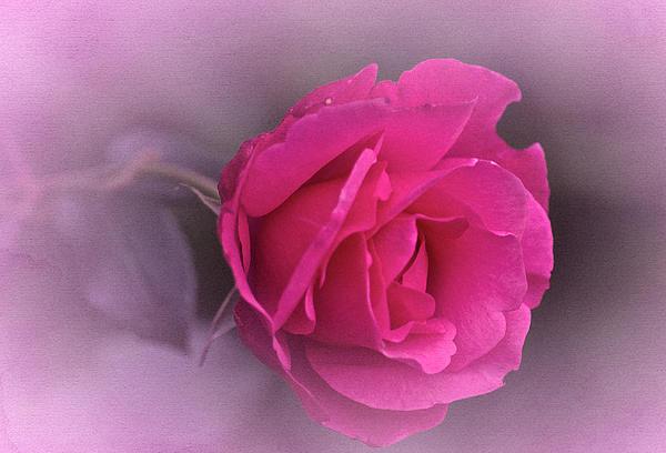 Richard Cummings - Vintage September Rose