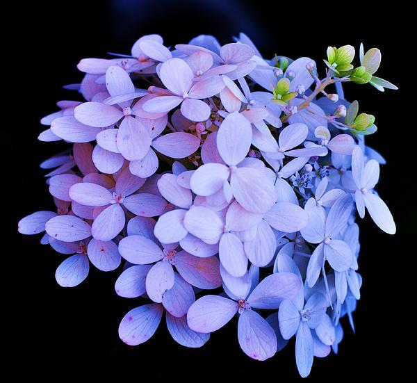 Lisa  DiFruscio - Violet Hydrangea Bloom