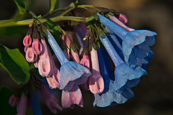 Virginia Bluebells 11 Print by Douglas Barnett