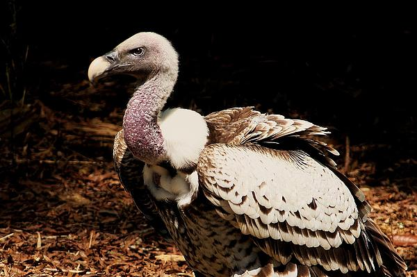 Vulture Print by Paulette Thomas
