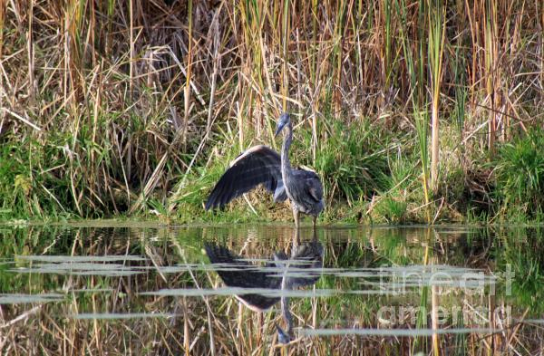 Wading In Heron Print by Cathy  Beharriell