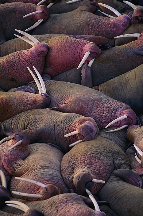 Walruses On The Beach Print by Joel Sartore