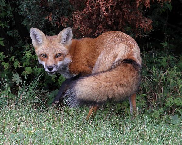 Doris Potter - Wary Fox