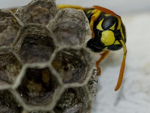 Dean Bennett - Wasp Nest
