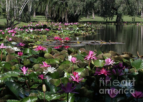 Water Lilies In The St. Lucie River Print by Sabrina L Ryan