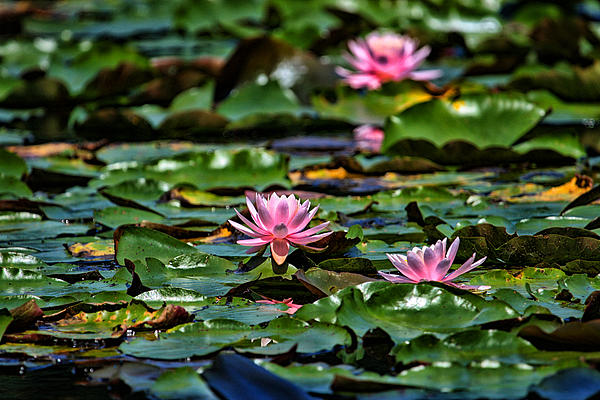 Water Lilies Print by Karol  Livote