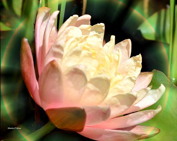 Water Lilly In Bloom Print by Maria Urso