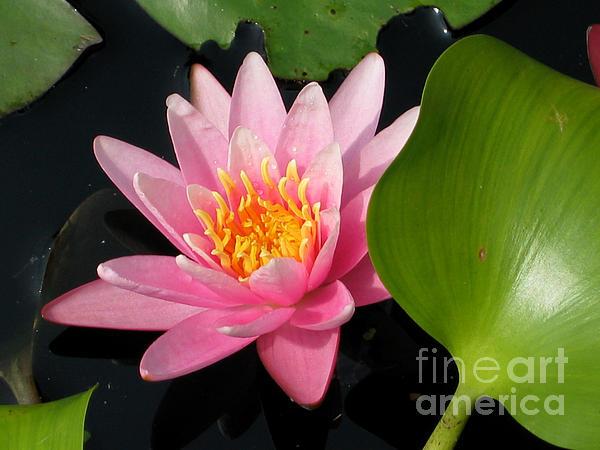 Water Lily 2 Print by Eva Kaufman