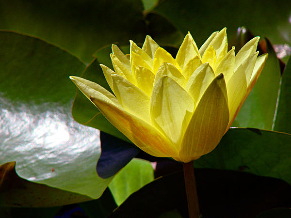 Water Lily Fc  Print by Diana Douglass