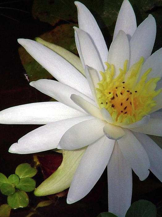 Water Lily  Print by Lisa Stanley
