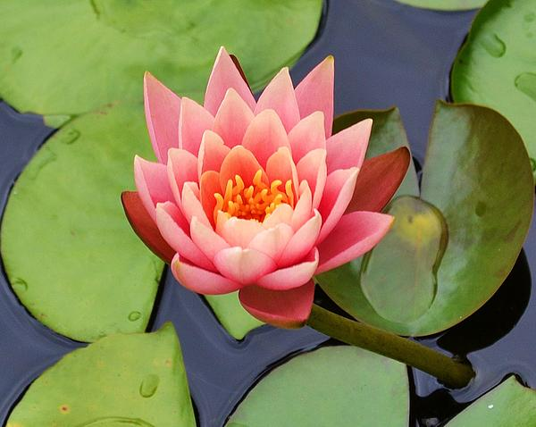 Water Lily Print by Mary Zeman