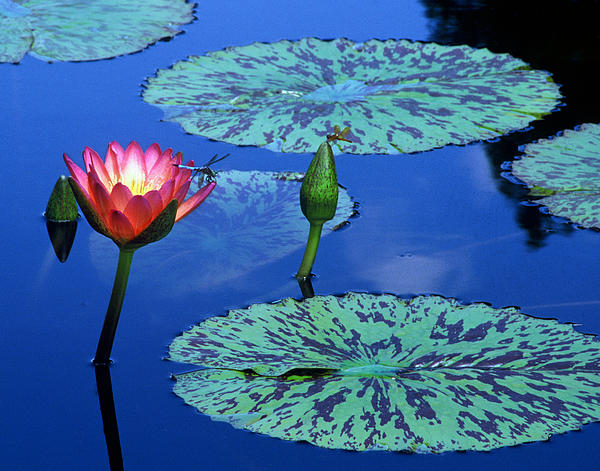 Water Lily W Dragon Flies Print by TB Sojka