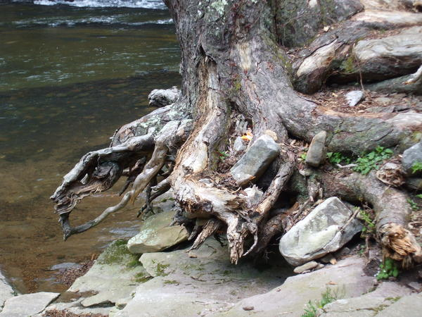 Water Tree Roots Print by Carla Russell
