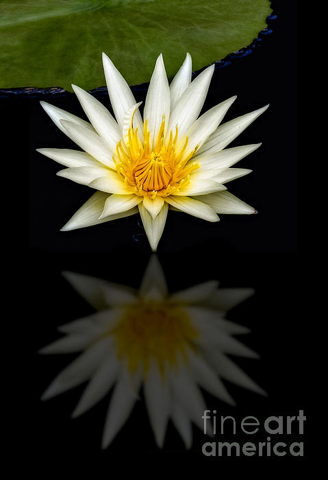 Susan Candelario - Waterlily and Reflection