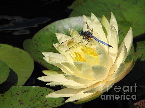 Waterlily With Dragonfly Print by Eva Kaufman