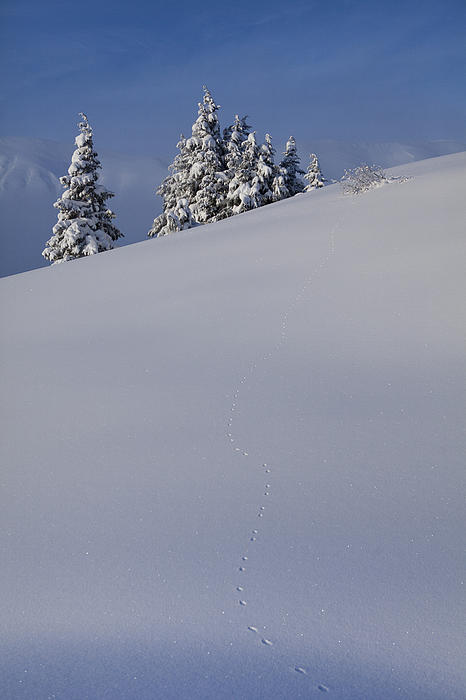 Weasel Tracks In The Snow Print by Tim Grams