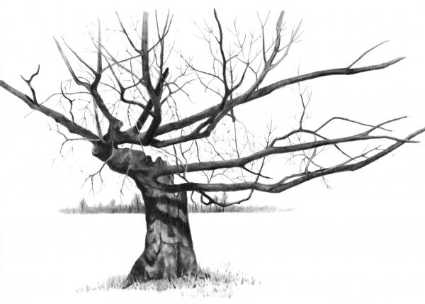 Weathered Old Tree Drawing  - Weathered Old Tree Fine Art Print