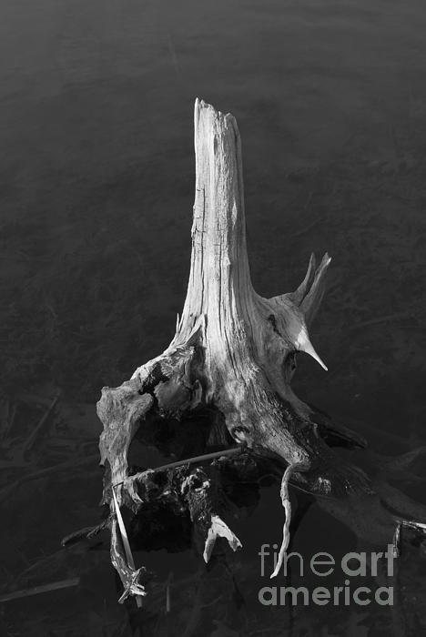 Weathered Stump Print by David Gordon