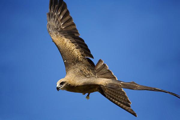 Wedgetail Eagle Flight Print by Mike  Dawson
