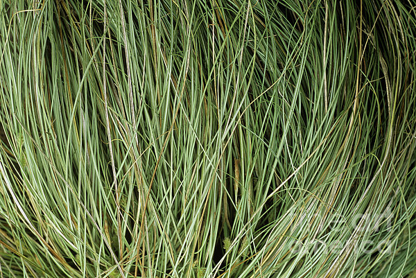 Weeping Sedge (carex Oshimensis) Print by Archie Young