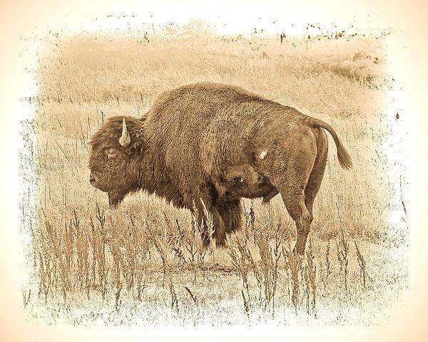 Western Buffalo Print by Steve McKinzie