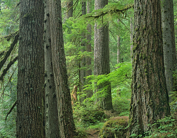 Red Cedar Forest ~ Western red cedar old growth forest by tim fitzharris
