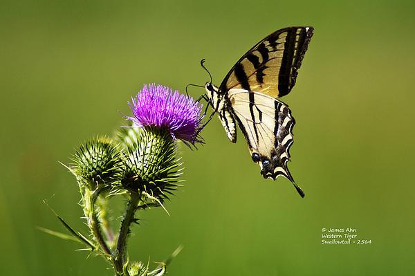Western Tiger Swallowtail - Milkweed Thistle 2564 Print by James Ahn