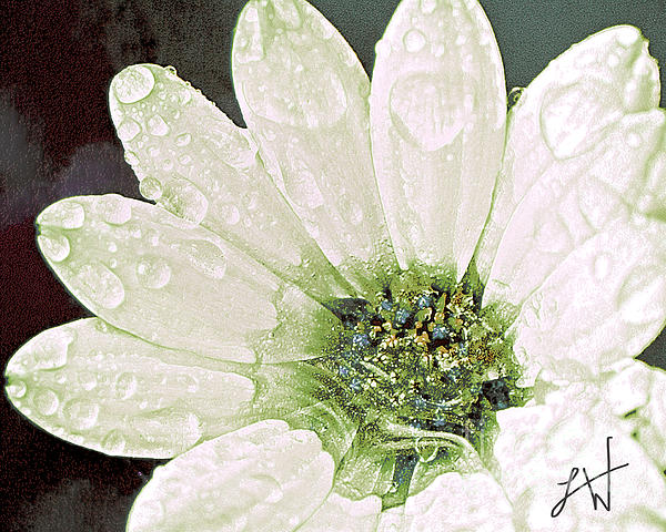 Wet Petals Print by Artist and Photographer Laura Wrede