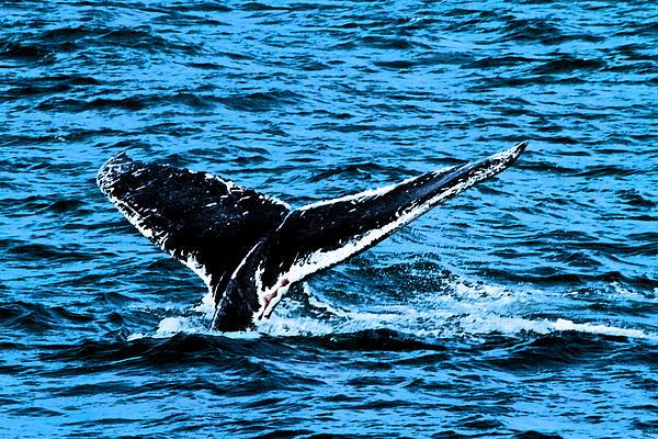 Whale Dip Print by Karol  Livote