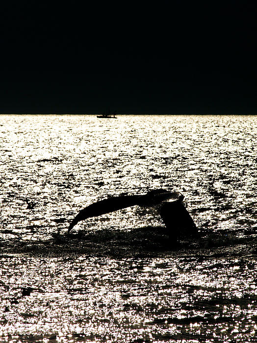 Whale In Sunset Print by Paul Ge