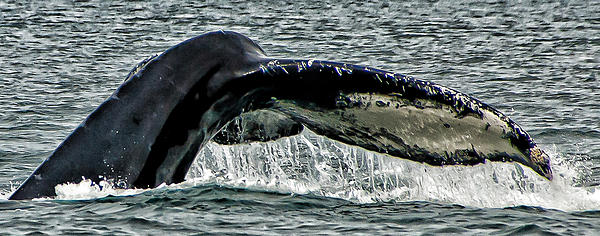 Whale Tail Print by Jon Berghoff