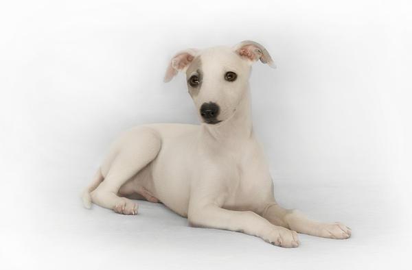 Whippet Puppy Print by John Clum