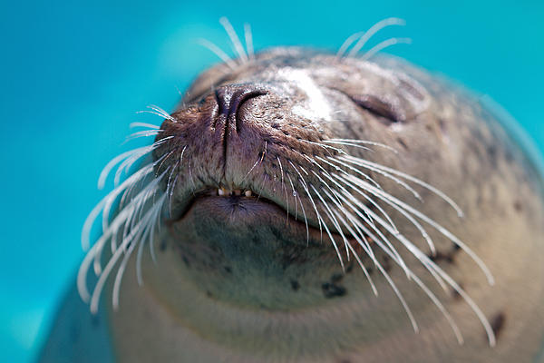 Whiskers Of A Seal Print by Karol  Livote