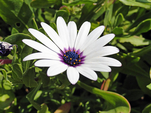 White African Daisy Print by Robert Meyers-Lussier