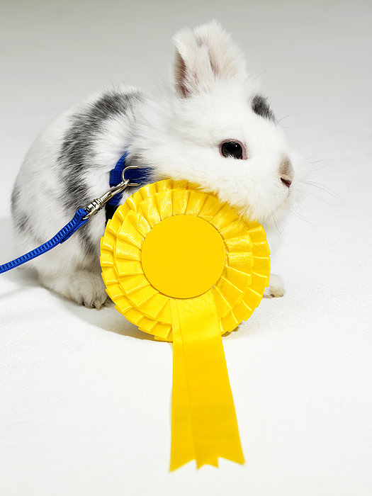 White And Black Rabbit On Blue Leash With Yellow Rosette Print by Michael Blann