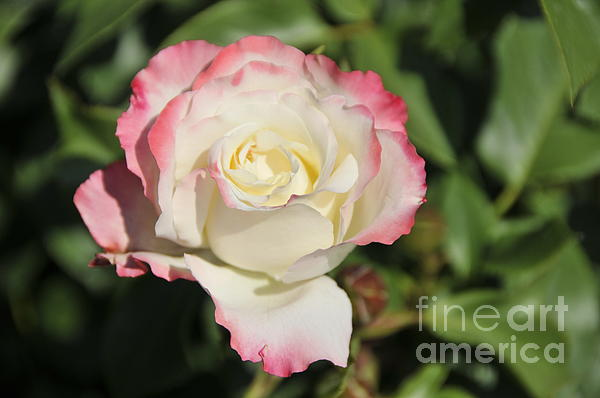 White And Red Rose 3 Print by Rudolf Strutz