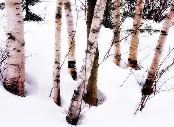 White Birch Trunks - Winter Fine Art Nature  Print by Thomas Schoeller