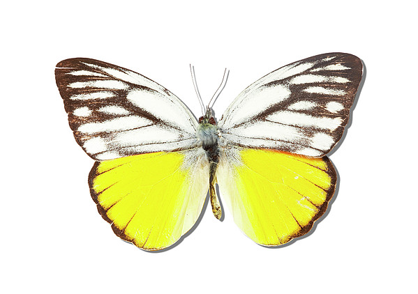 White Butterfly Of Indonesia Print by MajchrzakMorel