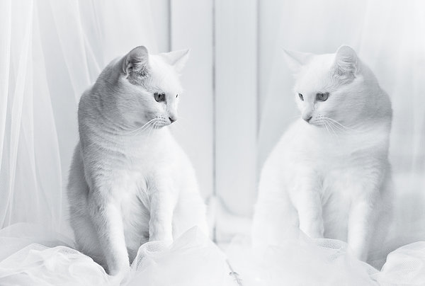 White Cat Reflected In Window Print by Vilhjalmur Ingi Vilhjalmsson