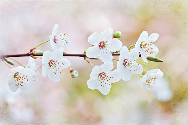 White Cherry Blossom Print by Jacky Parker Photography