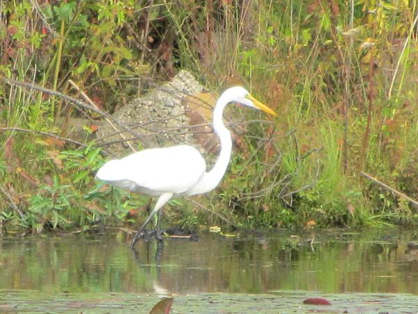 White Crane - Wildlife Print by Susan Carella