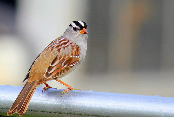 Susan Schwarting - White Crowned Sparrow