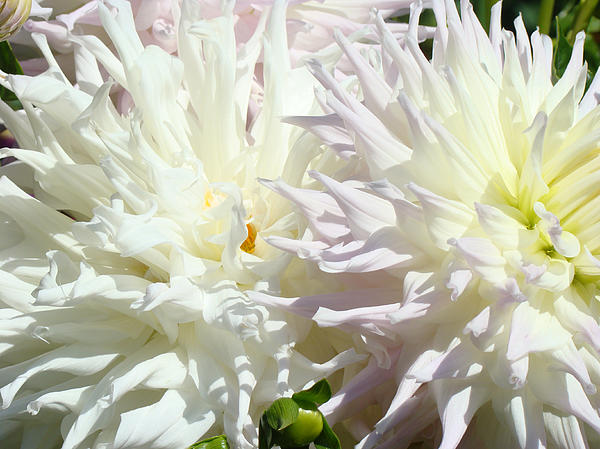 White Dahlia Flowers Art Prints Floral Print by Baslee Troutman Fine Art Prints