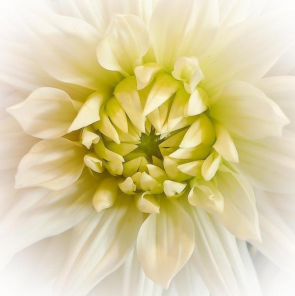 Ronda Broatch - White Dahlia