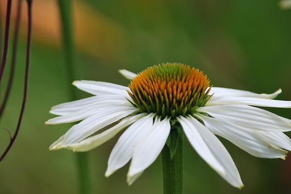 Judy Arbuckle - White Echinacea