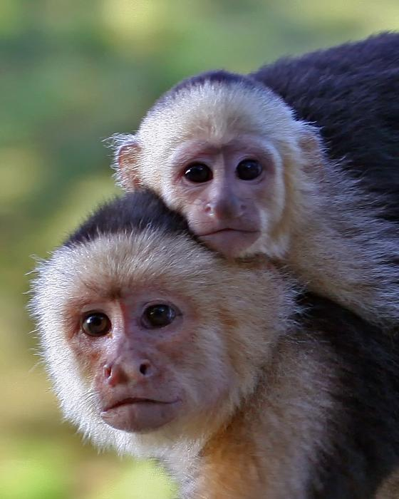 Larry Linton - White-faced Capuchin Monkey Mother And Baby